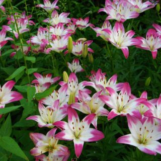 Asiatic Lily Lollypop