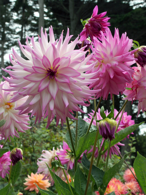 how to prepare dahlias for winter 10