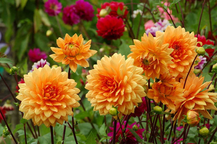 How to prepare dahlias for winter 2