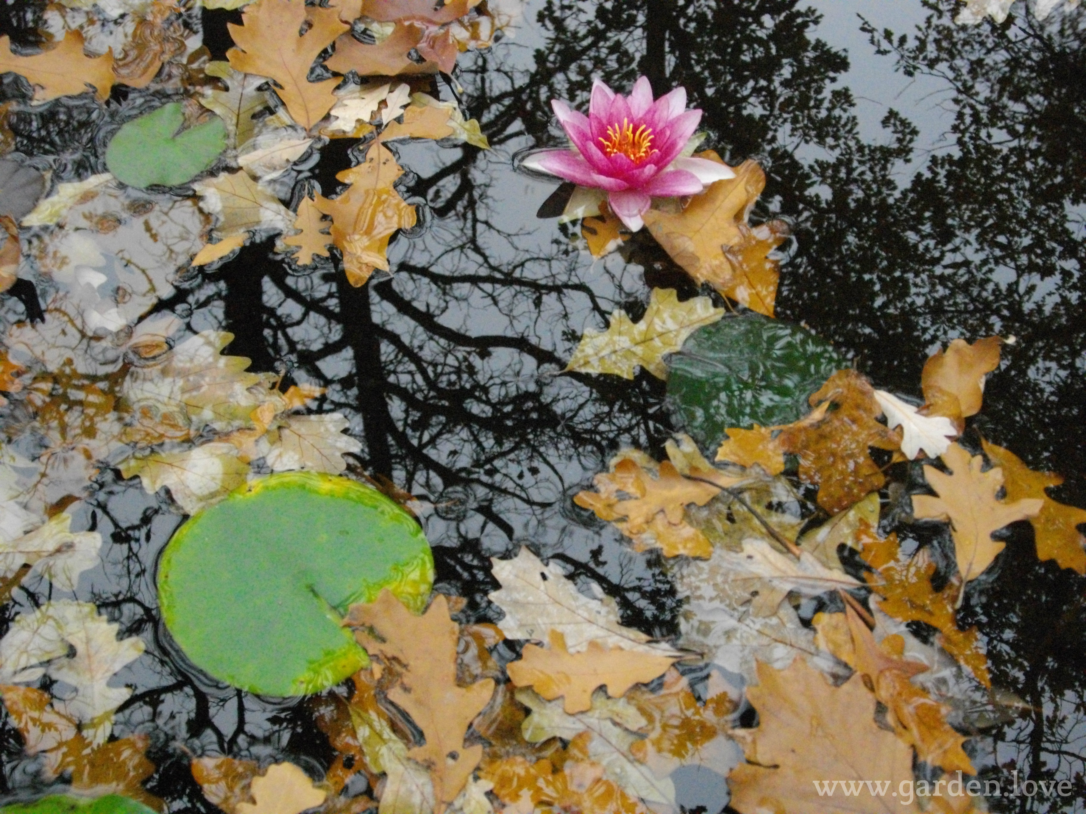 falling leaves on the pond