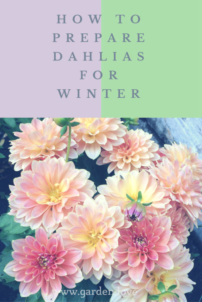 how to prepare dahlias for winter