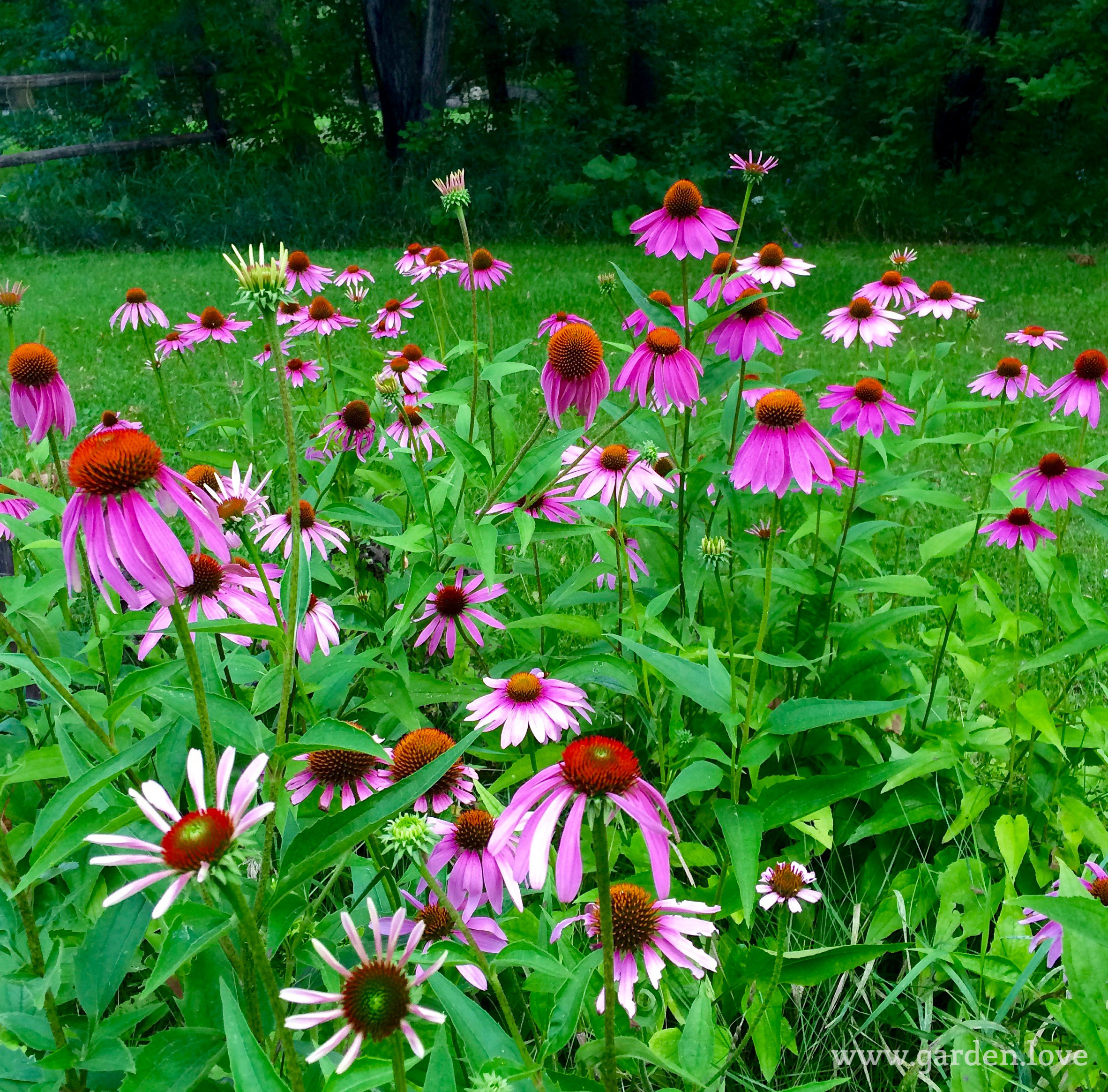 Top 10 perennials hardy beautiful garden love for Hardy plants for the garden
