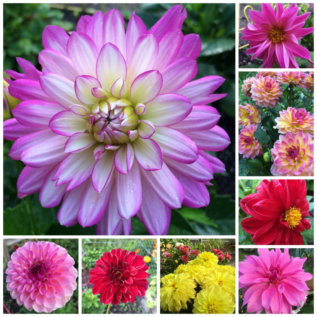 Dahlia flower collage
