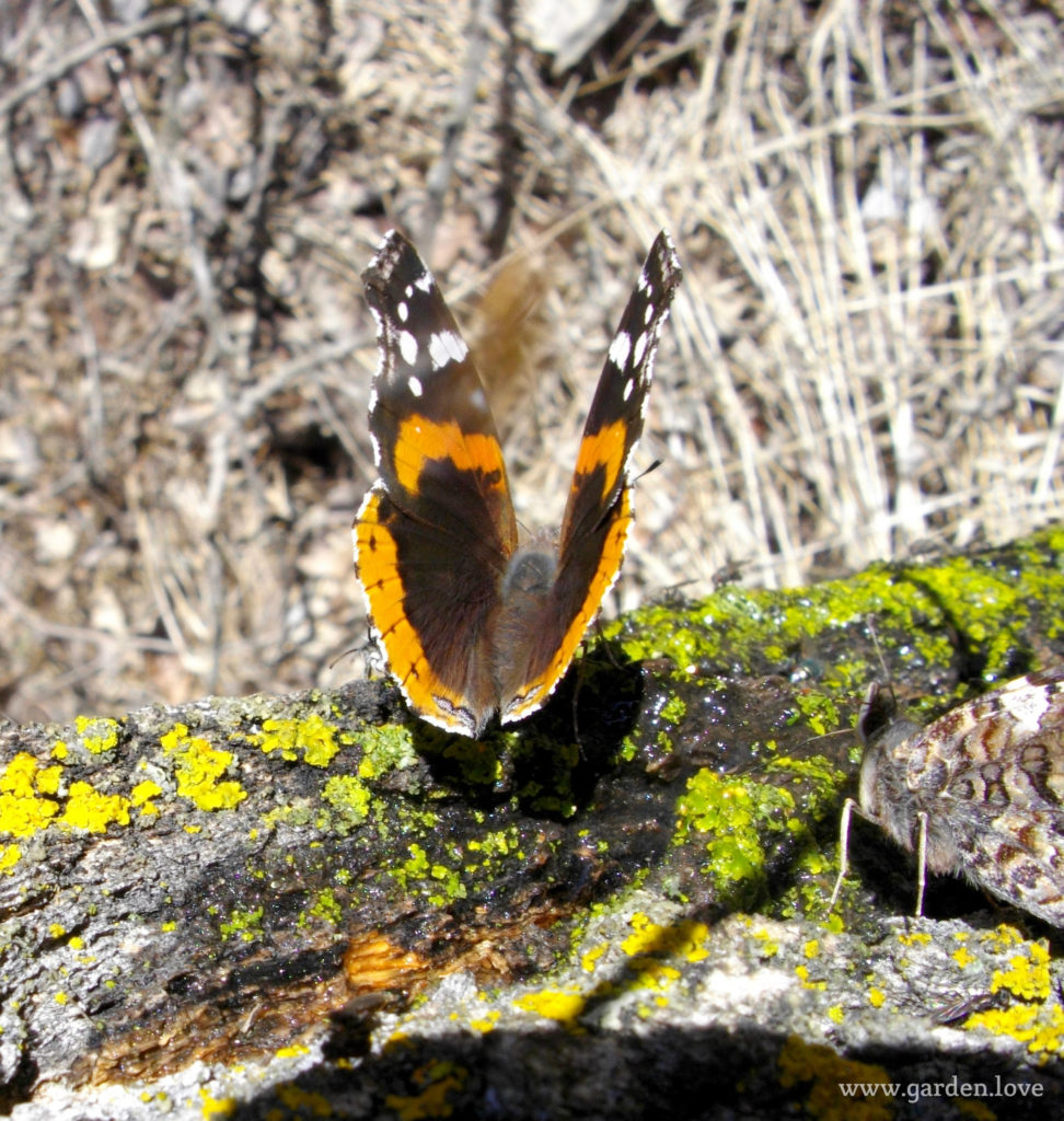 butterfly eating sap